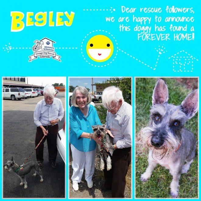 Begley (Mini Schnauzer) adopted
