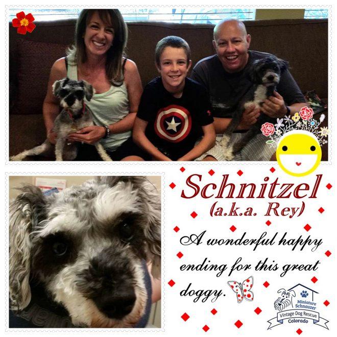 Schnitzel (Mini Schnauzer) adopted