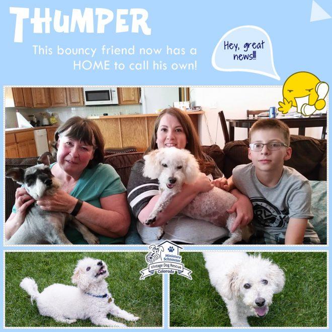 Thumper (Bichon mix) adopted