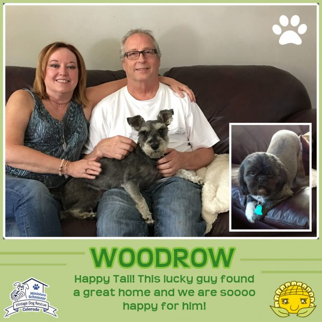 Woodrow (Mini Schnauzer) adopted