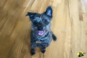 Abby (Terrier mix for adoption)