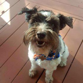 Charlie (Mini Schnauzer for adoption)