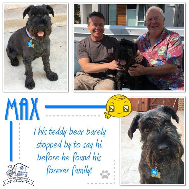 Max (Standard Schnauzer) adopted