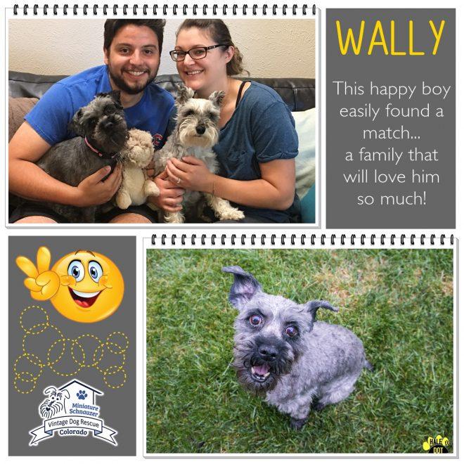 Wally (Mini Schnauzer) adopted