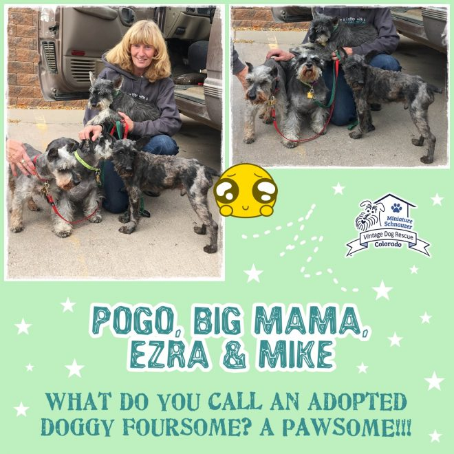 Ezra, Pogo, Mike, Big Mama (Mini Schnauzers adopted)