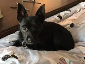 Fifty Cent (Terrier / Chihuahua mix for adoption)