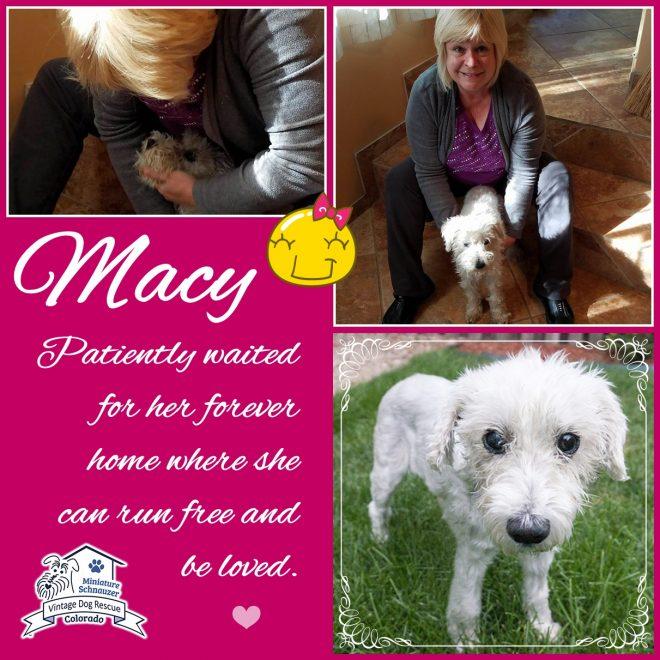 Macy (Mini Schnauzer adopted)
