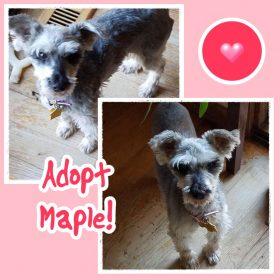 Maple (Mini Schnauzer for adoption)