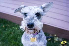 Milo (Mini Schnauzer for adoption)