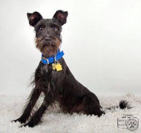 Pierre (Mini Schnauzer for adoption)