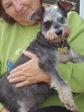 Ethel (Mini Schnauzer for adoption)