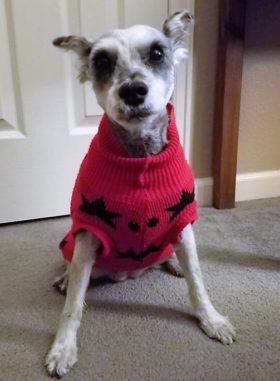 Bonnie (Mini Schnauzer for adoption)