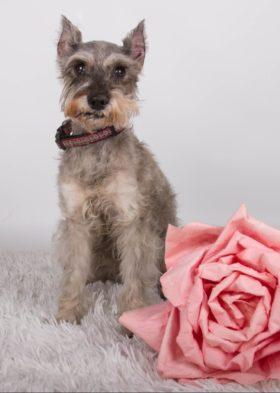 Lucy (Mini Schnauzer for adoption)