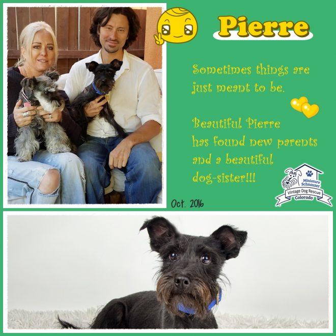 Pierre (Mini Schnauzer adopted)