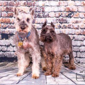 Charlie & Oscar (Mini Schnauzers for adoption)