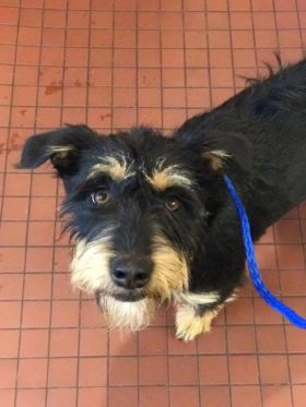 Lily (Terrier mix for adoption)