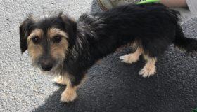 April (Terrier mix for adoption)