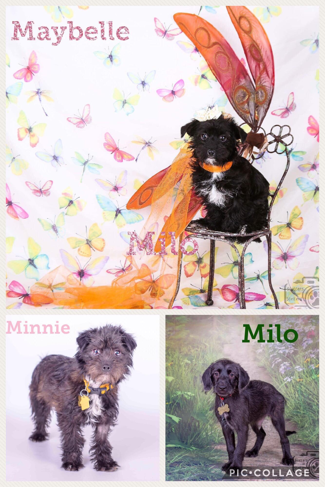 Adopt a puppy! Maybelle, Minnie, and Milo are available :)
