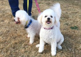 Mercedes & Maxwell (Bichon/Poodle for adoption)