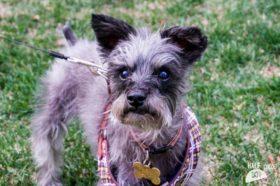 Murphy (Mini Schnauzer for adoption)