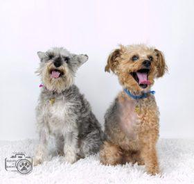 Tater & Tot (Yorkiepoo & Schnauzer for adoption)